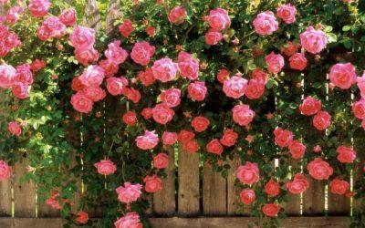 1)PLANTATION DES ROSIERS